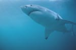 The Great White Shark is an apex predator