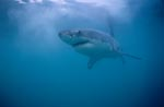 Beautiful, elegant, fascinating: The Great White Shark