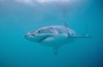Great White Shark (Carcharodon carcharias)