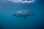 In the world's oceans at home: The great white shark