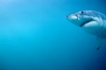 Great White Shark portrait