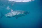 A large white shark is cruising offshore from Dyer Island