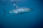 A very beautiful, majestic animal: The Great White Shark