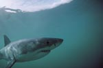 A fascinating animal: the Great White Shark