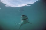"""The smile of the """"Great White"""" (Carcharodon carcharias)"""