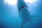 Great White shark underside