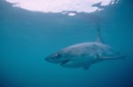 Mysterious Great White Shark (Carcharodon carcharias)