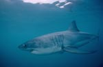 White shark hunting a few metres beneath the ocean surface