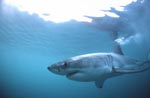 Fascinating creature of the seas: The Great White Shark