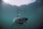 Surface hunter Great White Shark
