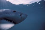 Great White Shark head close-up underwater
