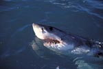 Great White Shark lifts its head off the water