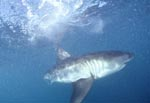 The Greate White Sharks scientific name is Carcharodon carcharias