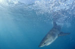 Baby Great White Shark (Carcharodon carcharias)