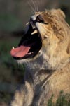 A Female lion yawning widely