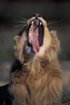 A Male lion yawning widely