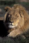 A tired Male lion