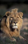 Male African Lion looks interested