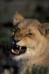 A Female lion snarling (Panthera leo)