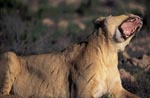 Female lion yawning widely