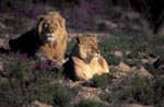 Pair of African Lions in flowering flowers