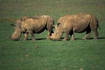 Two grazing white rhinos