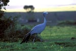 Blue crane traveling at late afternoon