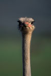 Ostrich Portrait in the Addo Elephant National Park