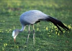 Blue Crane with blooming flowers