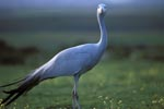 Portrait Blue Crane