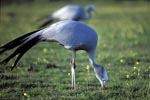 Blue Crane find food in the meadow