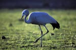 Blue Crane goes over the meadow