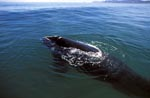 Southern Right Whale comes to the surface of the water