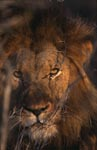 Male lion Lion at dawn