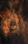 Male Lion looks through the thicket