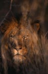 African Lion in dense bush