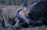 African lioness has killed a buffalo