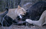 African Lions on prey animal