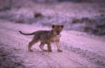 African lion cub in the evening light
