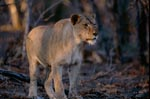 Female african lion in the evening light