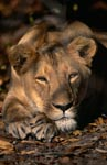 Female Barbary lion (Panthera leo leo)</