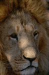 Portrait Barbary lion