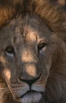 Barbary lion close-up