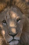 Eye contact with the Barbary Lion