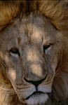 Impressive portrait of a Barbary lion