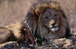 Barbary Lion - Panthera leo leo