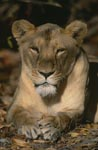 Big Cat Barbary lion