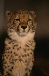 Imposing Cheetah Portrait