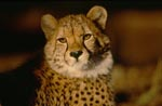 Cheetah - the look of the big cat