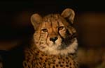 Carefully looking Cheetah